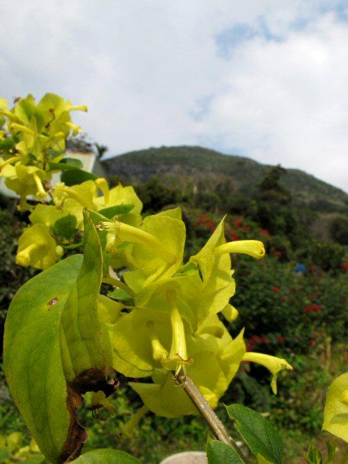 チャイニーズハットツリー