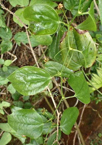 カラスキバサンキライ
