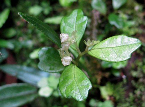 クニガミサンショウヅル