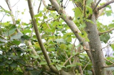 クロミノオキナワスズメウリ