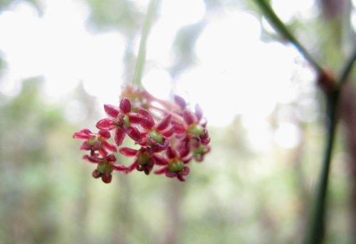 ササバサンキライ