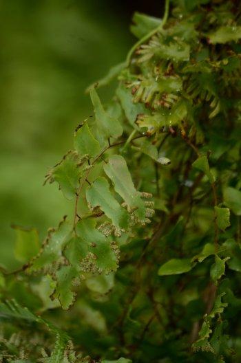 イリオモテシャミセンヅル