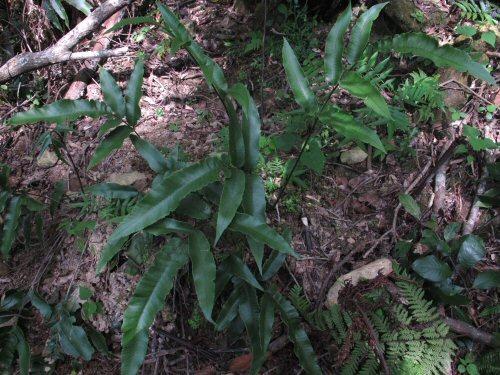 キレハキノボリシダ