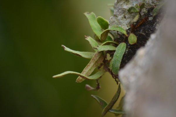 タイワンビロードシダ
