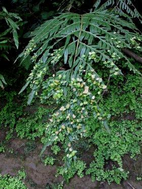 タイワンコモチシダ