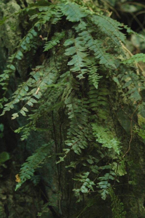 ワラビツナギ