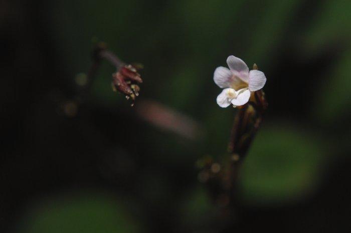 タイワンサギゴケ