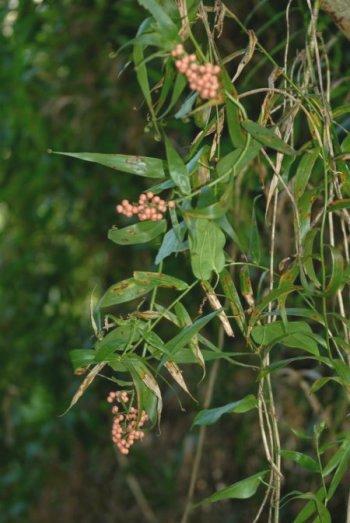 トウヅルモドキ