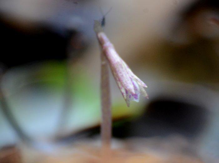 ムカゴサイシン